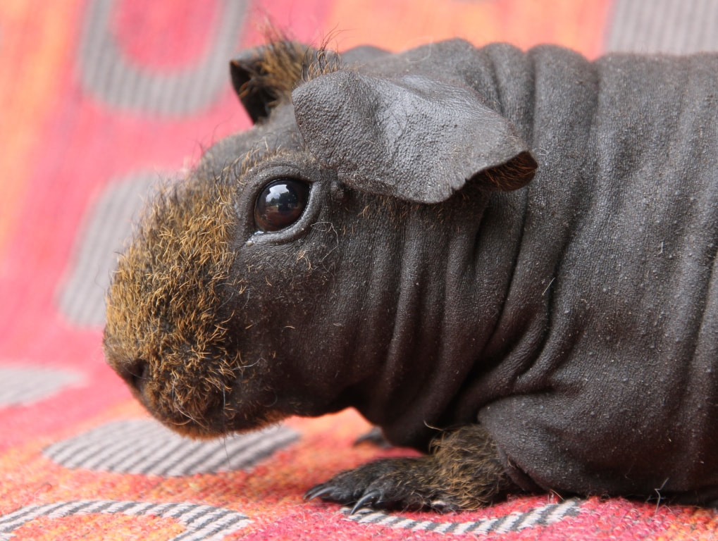 Taking Care of your Skinny Pig - Carmandale Guinea Pigs