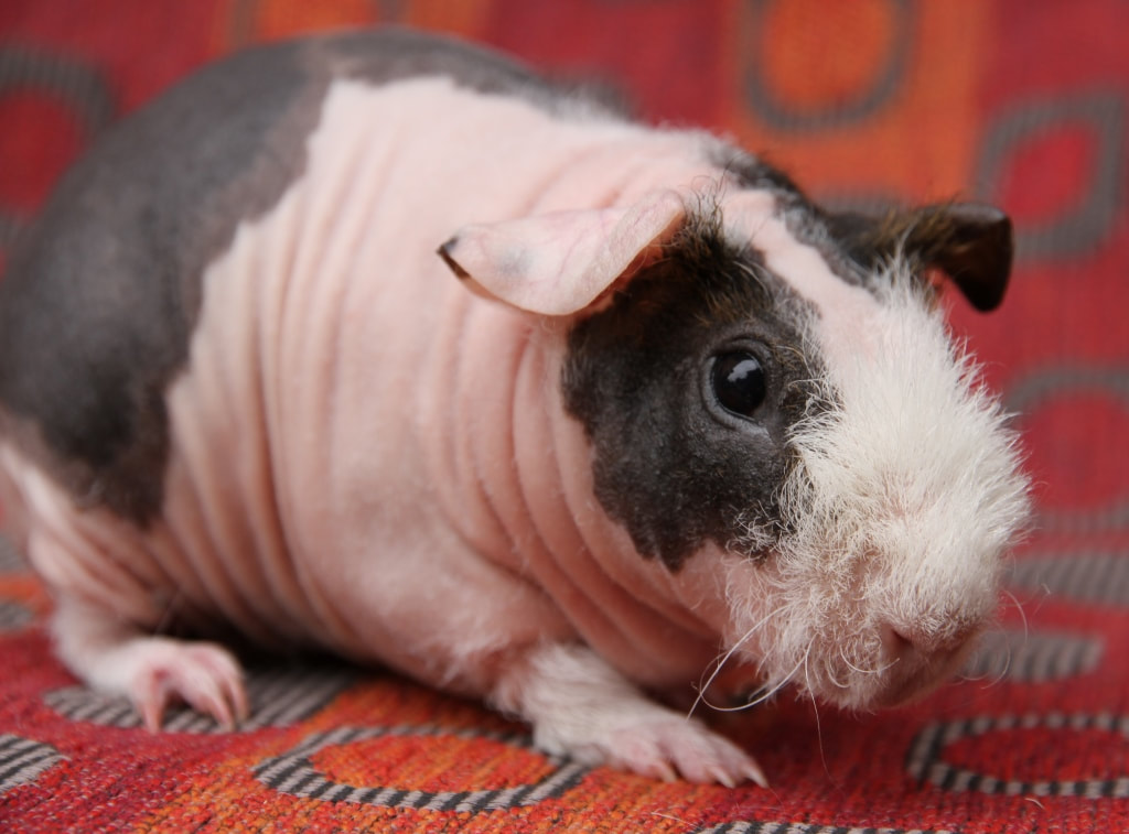 Taking Care Of Your Skinny Pig Carmandale Guinea Pigs
